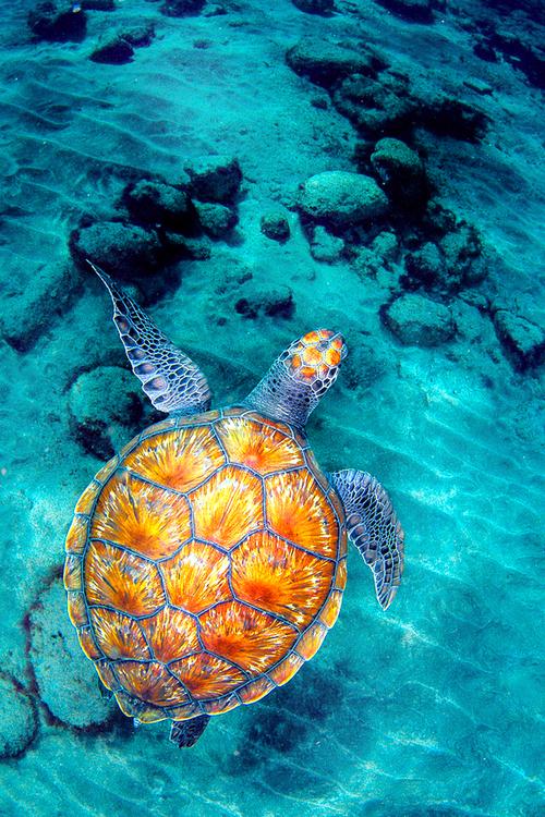 su kaplumbağsı