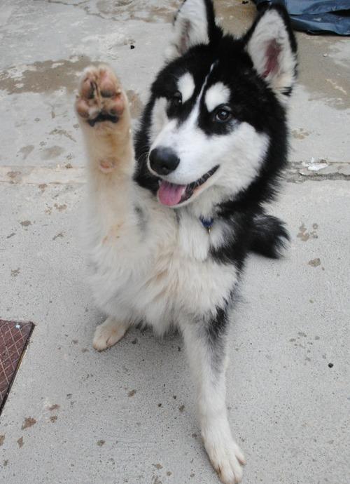 köpekçik