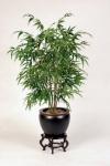 bambu-palmiyesi