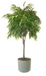 FicusAlii