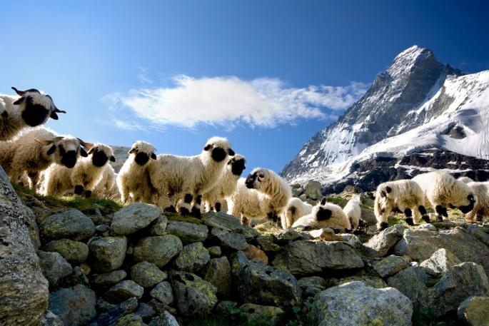 Matterhorn sheep
