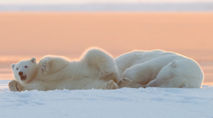 kutup ayısı 5