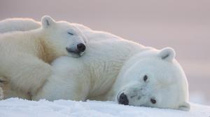 kutup ayısı 6