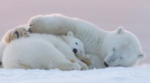 kutup ayısı1